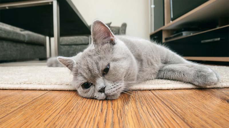 Ciri Ciri Kucing yang Akan Mati