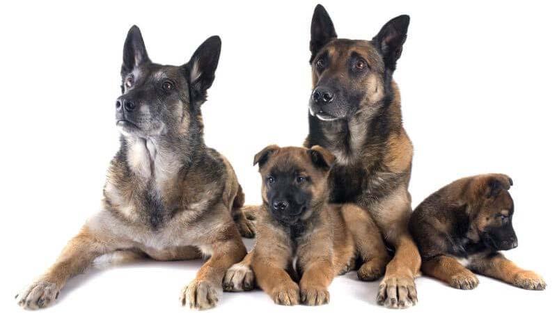 Harga Anjing Malinois