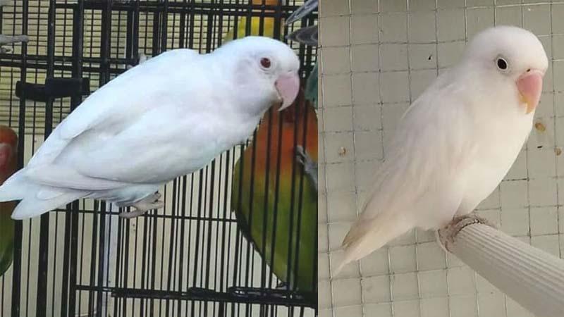 Lovebird Albino
