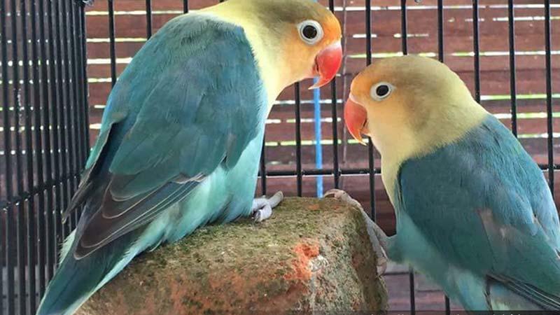 Lovebird Parblue
