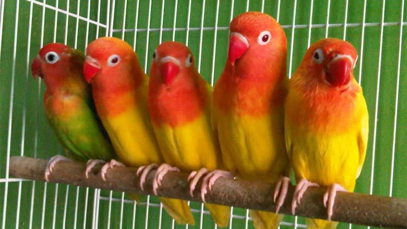 Merawat Burung Lovebird Agar Juara
