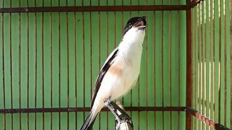 Pengertian Burung Cendet Miyik