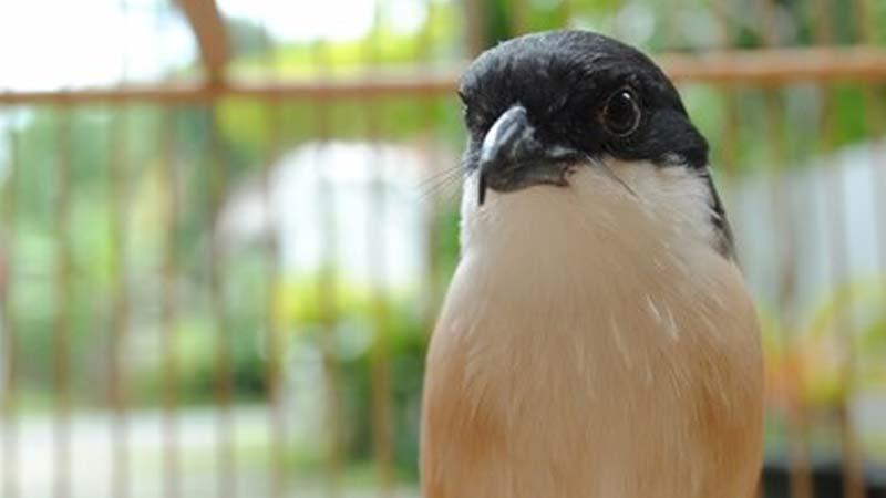 Penyebab Burung Cendet Miyik