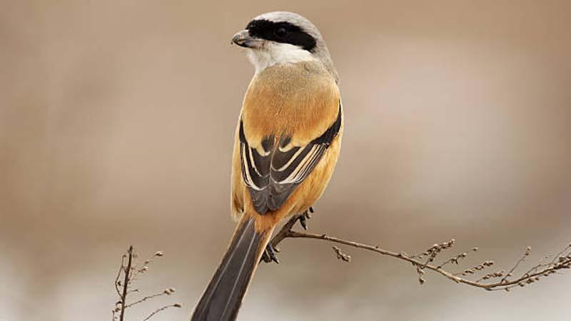 Penyebab Burung Cendet Salto