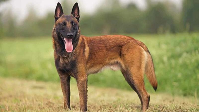Sejarah Anjing Malinois
