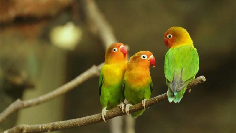 Yang Diperlukan Merawat Burung Lovebird