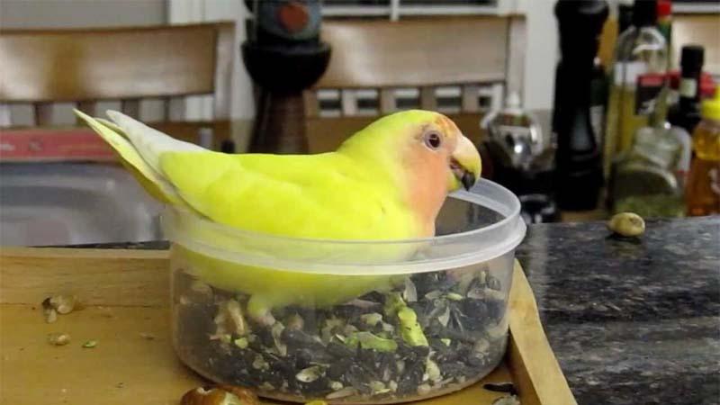 Jenis Makanan Lovebird Agar Gacor