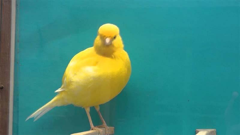 Burung Kenari Border