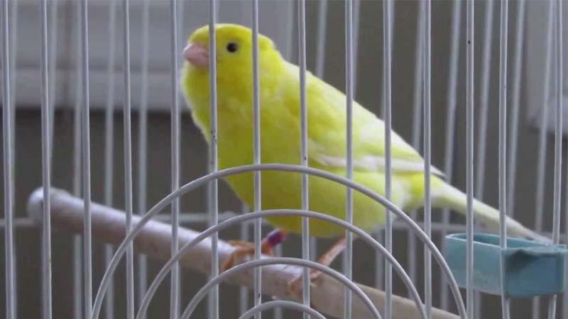 Burung Kenari Roller
