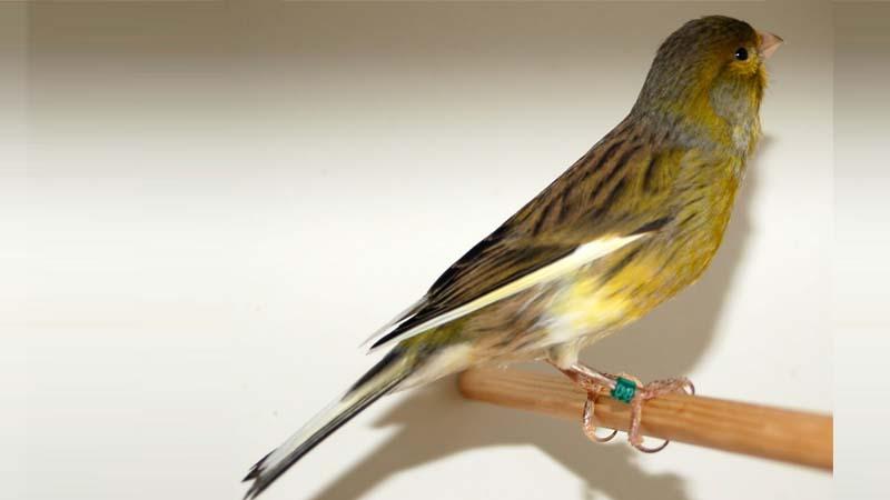 Burung Kenari Spanish Timbrado