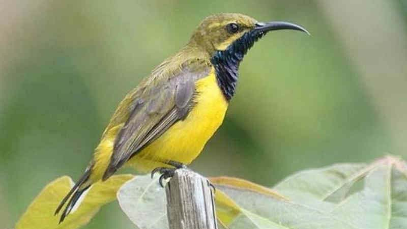 burung kecil paruh panjang merdu
