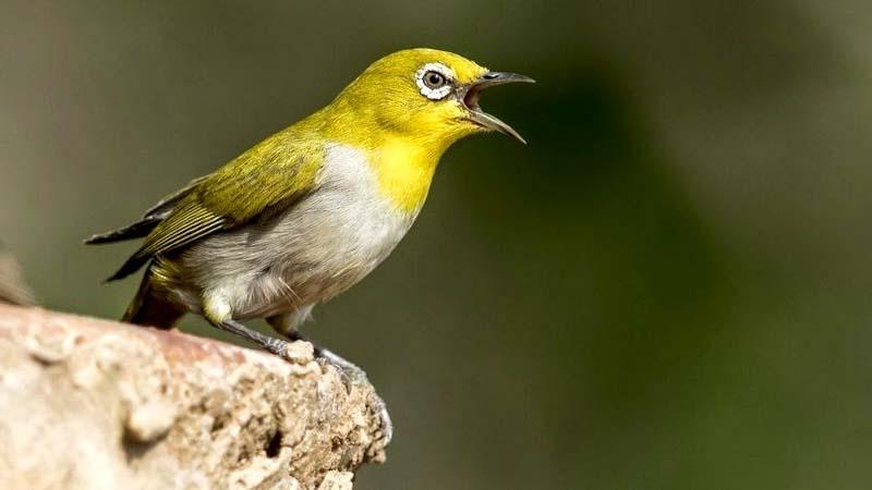 burung kecil suara keras
