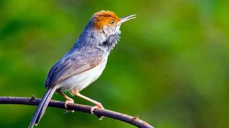 jenis burung kecil pengicau
