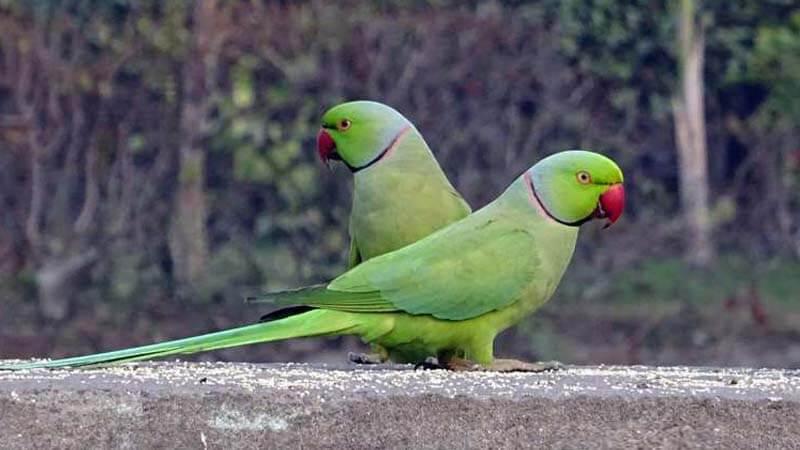 Jenis burung paruh bengkok Betet
