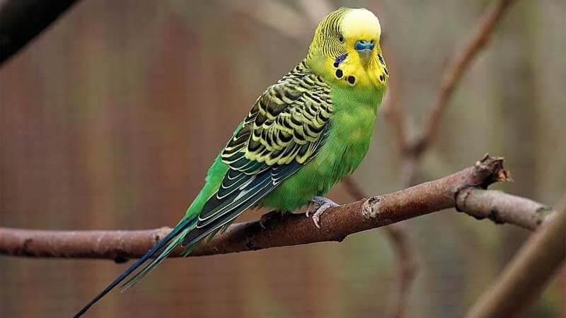 Jenis burung paruh bengkok Parkit