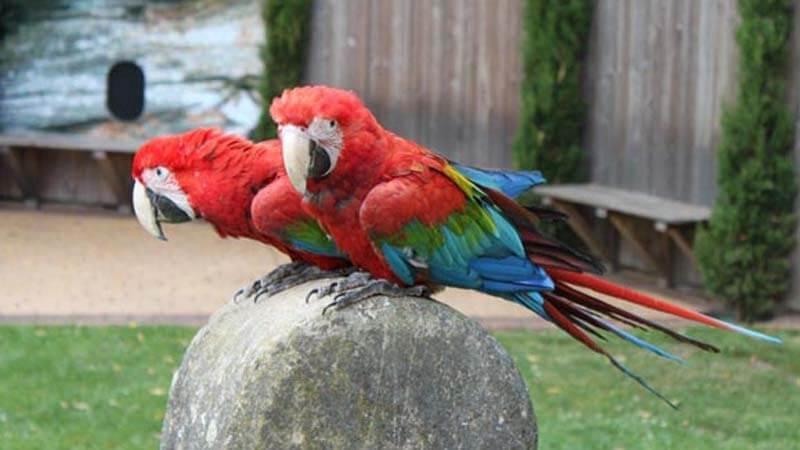 Jenis burung paruh bengkok Greenwing Macaw