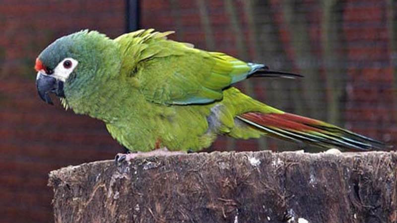 Jenis burung paruh bengkok Macaw Militer
