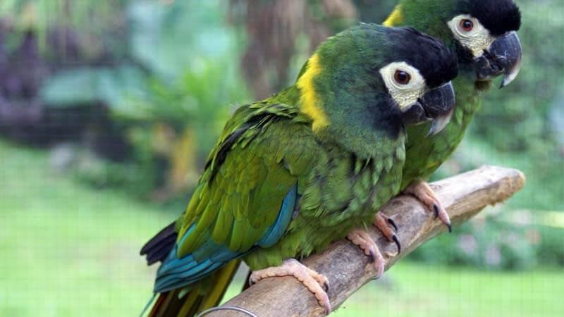 Jenis burung paruh bengkok Mini Macaw