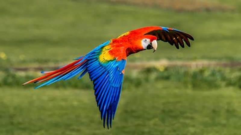 Jenis burung paruh bengkok Scarlet Macaw