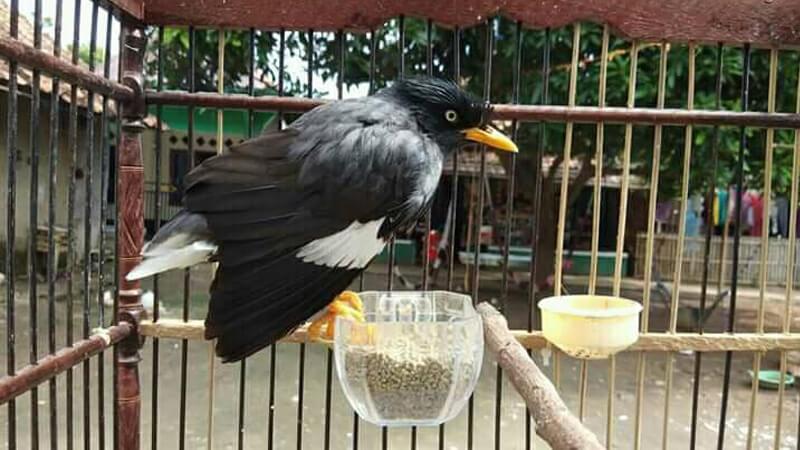 Burung Jalak Kerbau