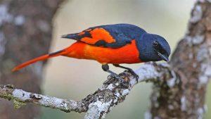 Burung Mantenan