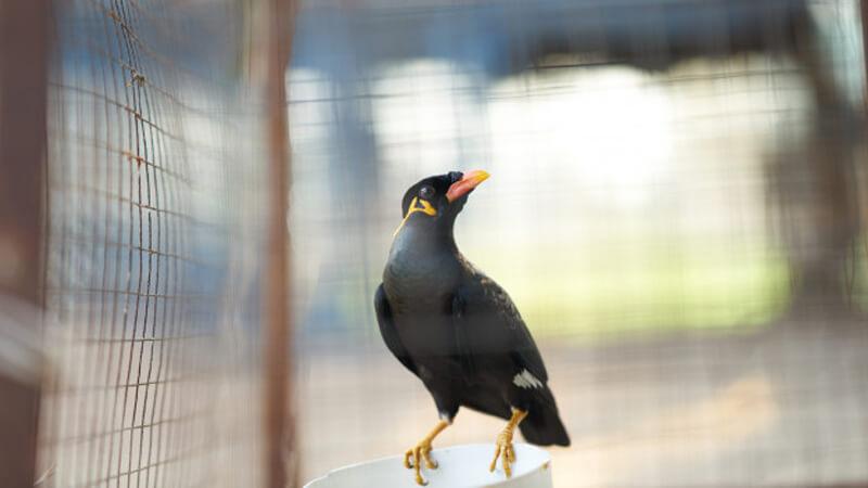 Cara Merawat Burung Jalak