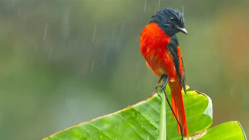 Cara Merawat Burung Mantenan