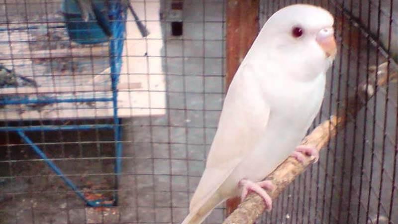 Burung Parkit Harga Ciri Ciri Jenis Dan Cara Merawat