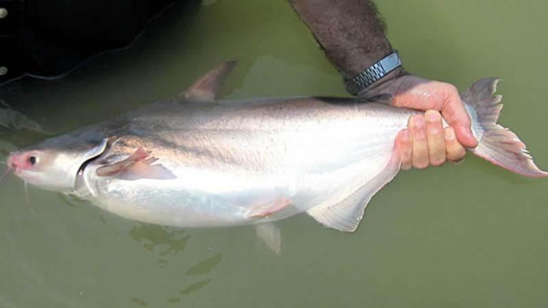 Umpan Ikan Patin