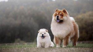 Anjing Chow Chow