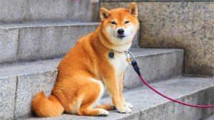 Anjing Shiba Inu