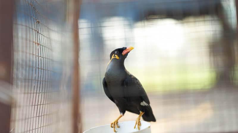 Cara Merawat Burung Beo