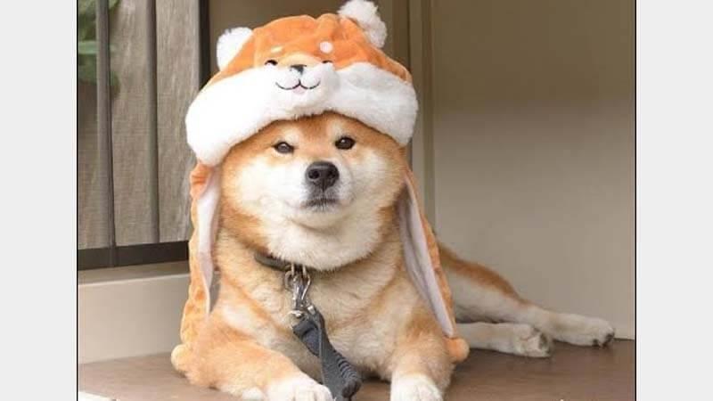Ciri-Ciri Anjing Shiba Inu