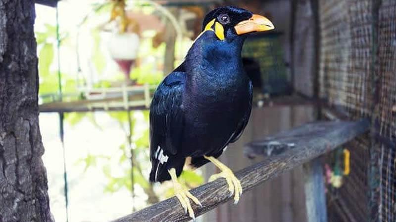 Ciri dan Karakteristik Burung Beo