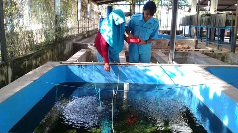 Memberi Pakan Ikan Gabus