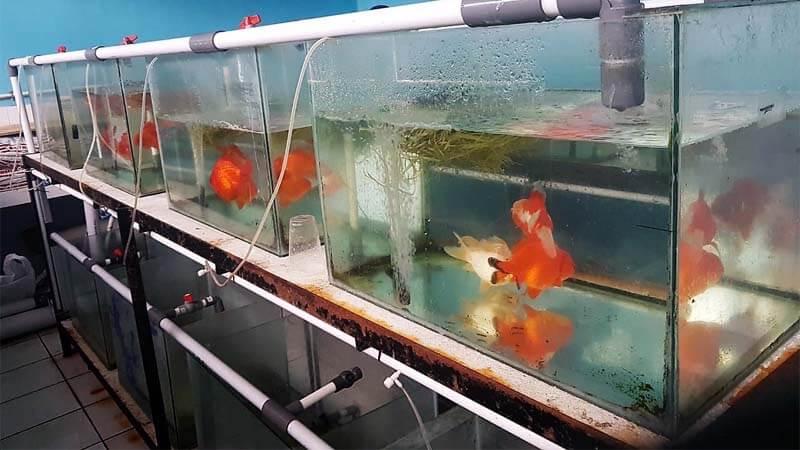 Proses Pemijahan Ikan Hias
