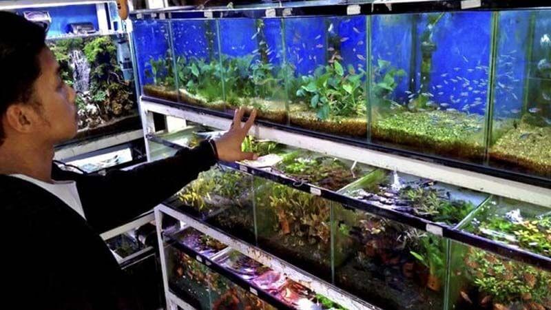 Prospek Budidaya Ikan Hias