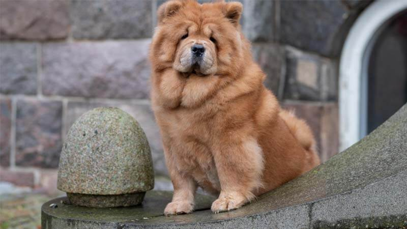 Sejarah Anjing Chow-Chow