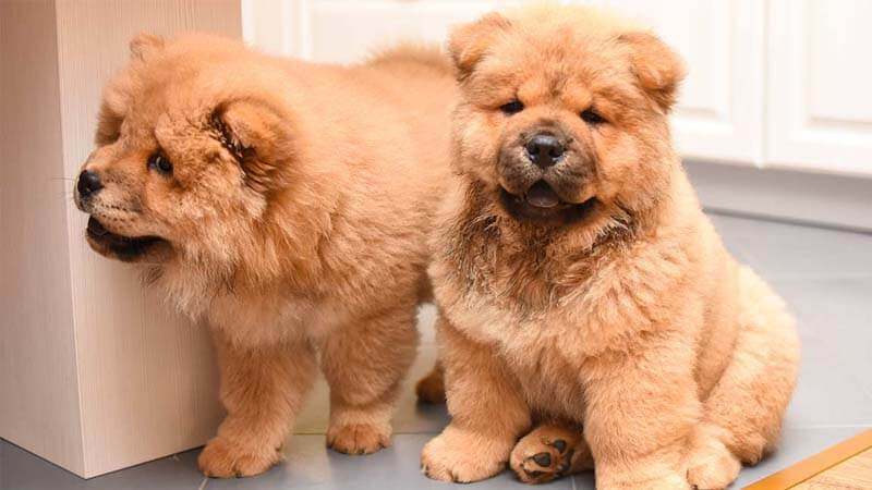 Sifat Anjing Chow-Chow