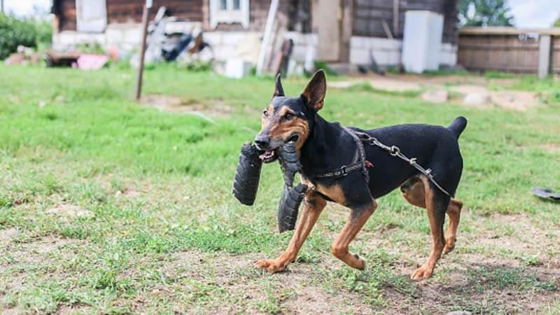 Sifat Anjing Doberman